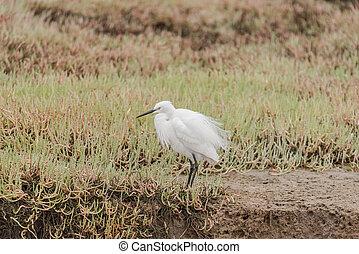 Little egret,  Egretta garzetta, at the lagoon in Walvis Bay
