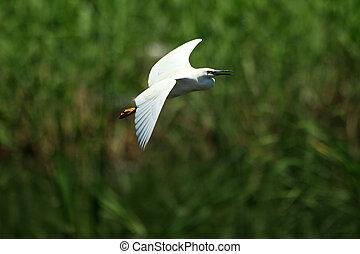 Little egret (Egretta garzetta) flying in Japan