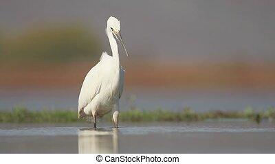 Little egret, Egretta garzetta , single bird in water, South...