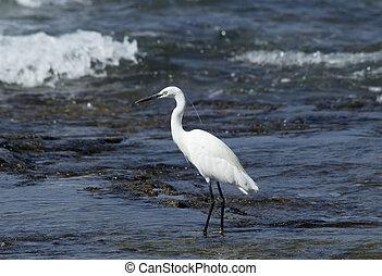 Little egret, Egretta garzetta, hunting in shallow water
