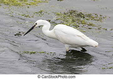 little egret (Egretta garzetta) looking for fish
