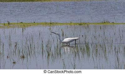 Little egret (Egretta garzetta) on the wetland hunting for...