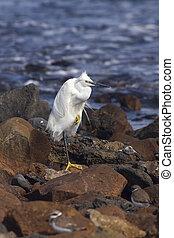 little egret (egretta garzetta) resting on the rocks