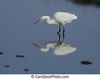Little egret, Egretta garzetta, Single bird in water, Kenya...