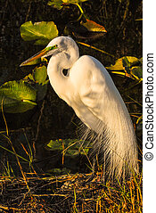Little egret Egretta garzetta sitting in the sun
