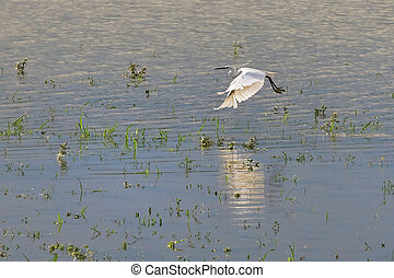 Little Egret Egretta Garzetta Small White Heron - Little ...