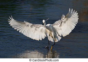 Little egret (Egretta garzetta) standing on a lake