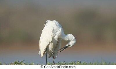 Little egret, Egretta garzetta , single bird by water, South...