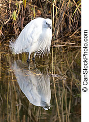 Little egret in a pond