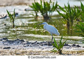 Little egret in a swamp - Little egret (Egretta garzetta) in...