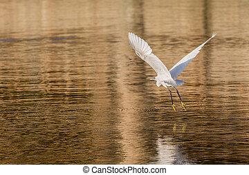 Little Egret in flight - A Little Egret flying over Kuriftu...