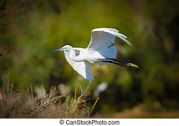 Little Egret in flight in the wild