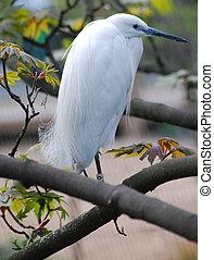 Little Egret in tree