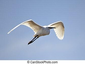 Little Egret is a small white heron breeding in wetlands