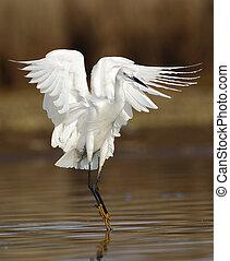 Little Egret - little egret landing in the pond.