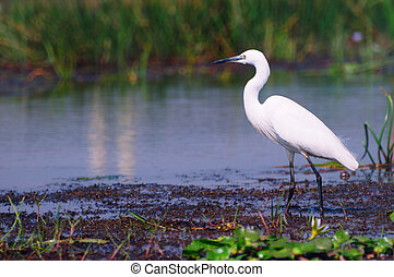 Little egret looking for fish on the river bank