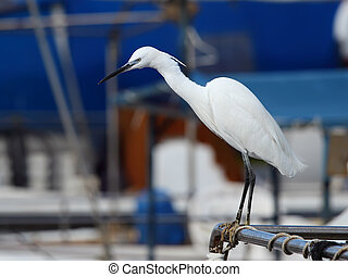 Little Egret; looking for food