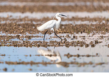Little Egret looking for nourishment in a swamp