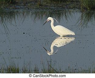 Little Egret on a Somerset Nature reserve