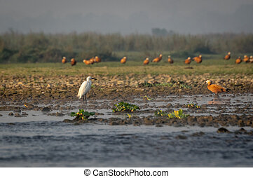 Little Egret or Egretta garzetta standing on the shoreline ...