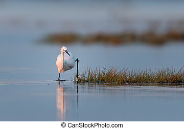 Little egret running in the water during sunrise - Little ...