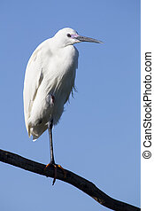 Little egret sits on a perch against blue sky