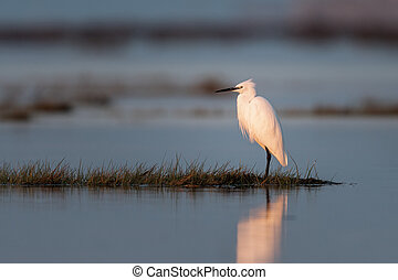 Little egret standing in the water during sunrise - Little ...