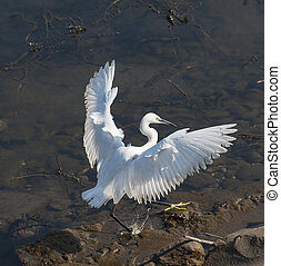 Little egret wild bird landing in shallow water on riverbank