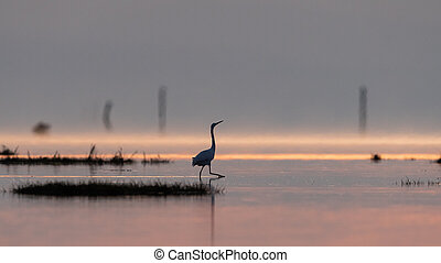 Little egret walking in the water during sunrise - Little ...