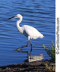 Little egret - White little egret walking in the water in ...