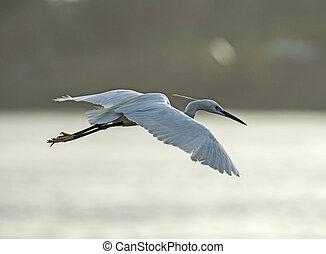 Little egret wild bird in flight