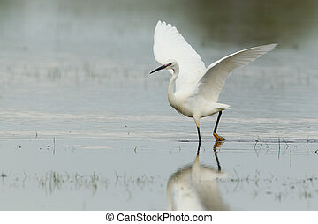 Little egret with spread wings - Little egret walking with ...