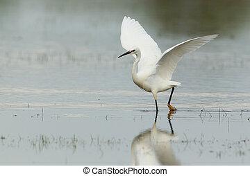Little egret with spread wings - Little egret walking with ...