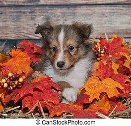 Little fall Sheltie