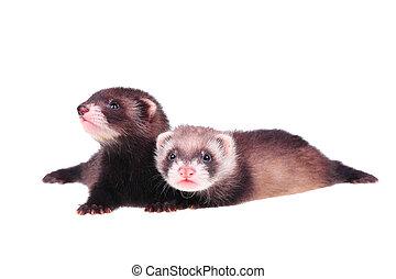 Little ferret babies
