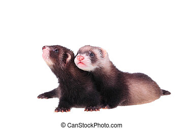 Little ferret babies - Two little ferret babies isolated in...