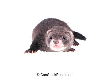 Little ferret baby