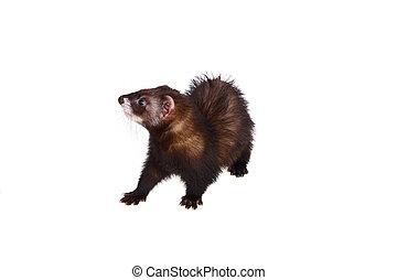 Little ferret