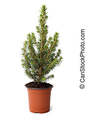 Little fir tree in pot