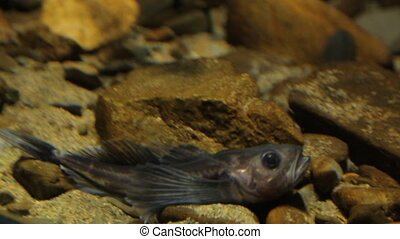 Little fish covered with silvery scale lies on stones moving its flappers.