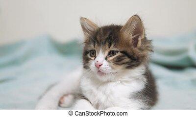 little fluffy cute funny kitten portrait indoors. cute a...