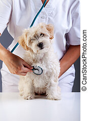 Little fluffy dog at the veterinary checkup - Litle fluffy...