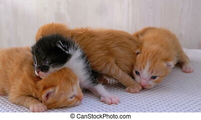 Little Fluffy Four Kittens are Two Weeks Old, Crawling...