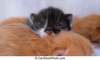 Little Fluffy Kittens are Two Weeks Old, Crawling Around on...