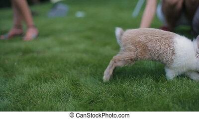 Little fluffy rabbit walks on a green grass among people. Slow motion.