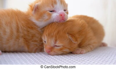 Little Fluffy Red Kittens are Two Weeks Old, Crawling Around...