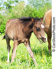 little foal of welsh pony in the grassland