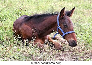 Little foal resting on grass.