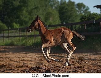 little foal running in paddock