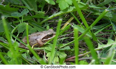 Little frog is hiding - Baby frog in its natural habitat...